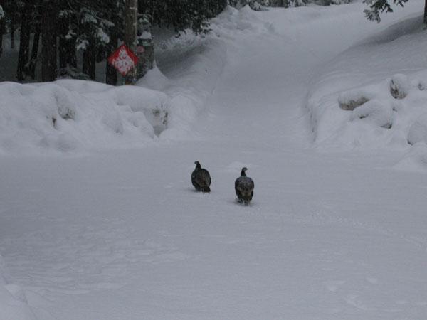 Cold Springs Turkeys